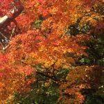 【秋の伊豆・おすすめドライブルート】修善寺の紅葉と内浦港の鯵(アジ)