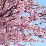 河津桜、見に行く価値は本当にあるのか?