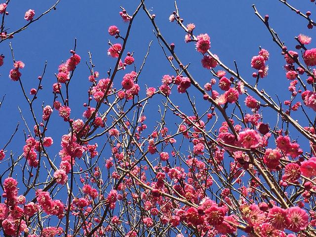 『熱海梅園梅まつり』伊豆に訪れた最初の春を見に行く